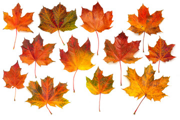 Autumn maple leaves collection