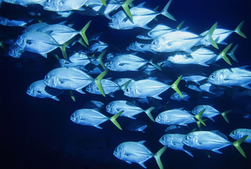 Caribbean Sea, Belize, U.W. photo, a school of Jacks
