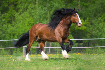 Vladimir draft horse runs gallop on the meadow