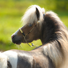 American Miniature Horse, portrait in summer