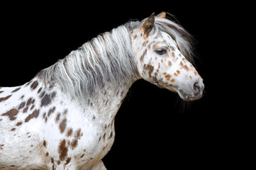 Portrait of the Appaloosa horse or pony