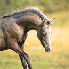 Beautiful Welsh pony, foal 3 weeks old