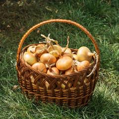 Fresh bulbs in the basket