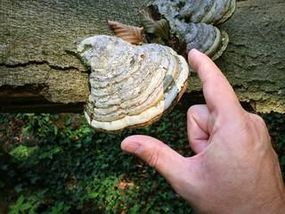 Baumpilz macht sich auf Totholz breit