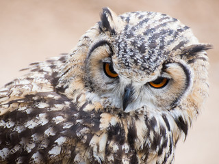 Eagle owl fixedly looking with its big orange eyes