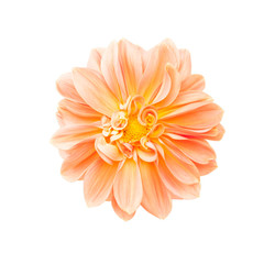 Dahlia flower isolated and clipping path
