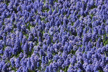 Blooming in Keukenhof, Holland