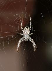 Crossed spider on web