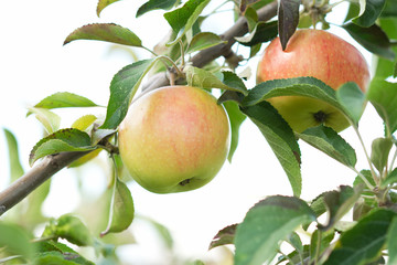 Green red bio natural apples
