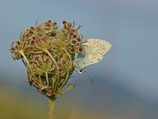 Silbergrüner Bläuling (Polyommatus coridon) auf Wilder Möhre