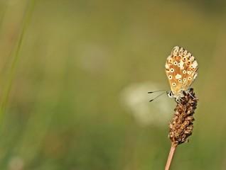 Weiblicher Silbergrüner Bläuling (Polyommatus coridon)