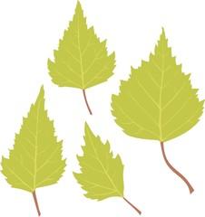 Birch green leaves