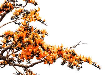 Isolated Orange Flower of Bastard Teak
