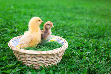 Easter nest with chick