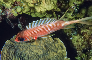 Caribbean Sea, Belize, Sabre Squirrelfish