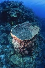 Caribbean Sea, Belize, tropical Vase Sponge