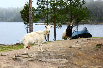 Two goats and a boat on the island, Valaam Island, Russia