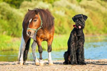Giant schnauzer dog with painted shetland pony on the beach