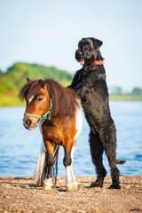 Giant schnauzer dog with painted shetland pony