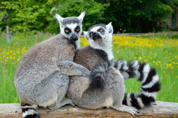 Huddle of lemurs outdoors