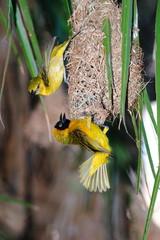 uccello tessitore giallo parco nazionale del  kruger sudafrica