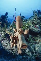 Caribbean Sea, Belize, tropical Tube Sponges