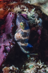 Caribbean Sea, Belize, small Spotted Boxfish