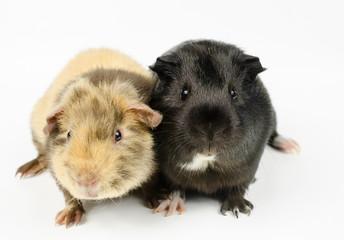 zwei kleine Meerschweinchen-Babies