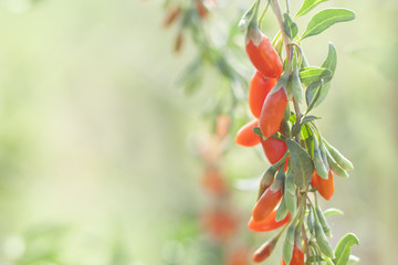twig filled with fresh goji berries