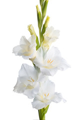 White gladiolus. isolation
