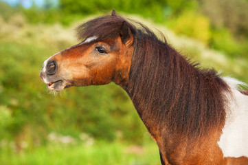 Portrait of painted shetland pony
