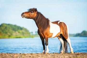 Painted shetland pony