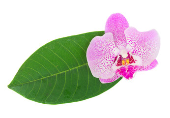 pink  orchid flower with green leaf