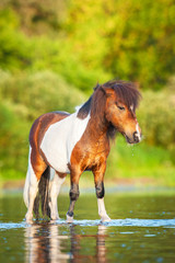 Little painted shetland pony standing in water