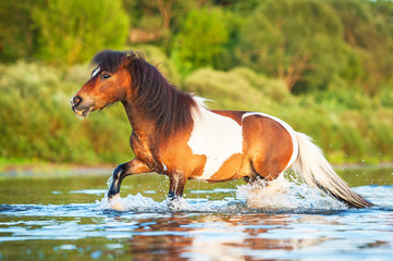 Little painted shetland pony running in water