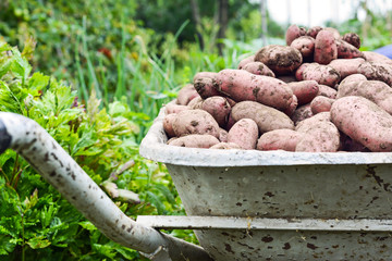 wheelbarrow full of fresh organic potatoes