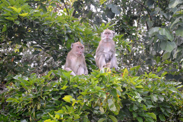 couple macaques