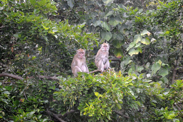 couple macaque