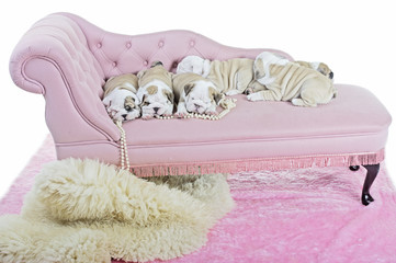 Bunch of cute english bulldog dog puppies on a pink sofa