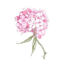 Hydrangea Vintage BotanicalIllustration