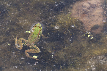 Green Frog poking its head out of the water.
