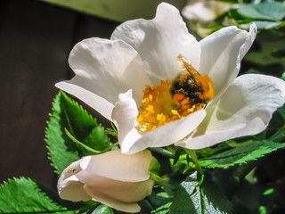 White rose with bumble bee in summer.