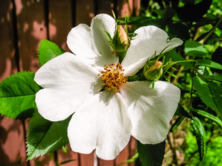 White climbing rose plant with two buds in summer.