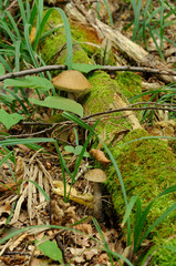 leccinum scabrum mushrooms in real environment