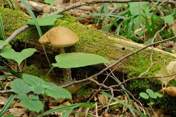 leccinum scabrum mushroom in real environment