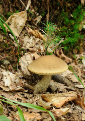 leccinum scabrum mushroom in real environment