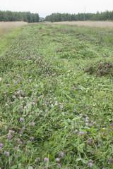 łąka koniczyny