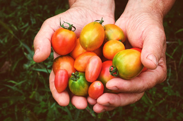 fresh multicolored tomatoes in the hands