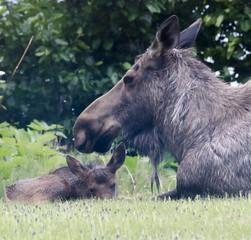 Soaking wet moose calf and protecting mom