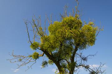 mistletoe on convoluted tree